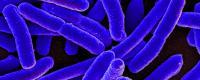 e._coli_bacteria_16578744517